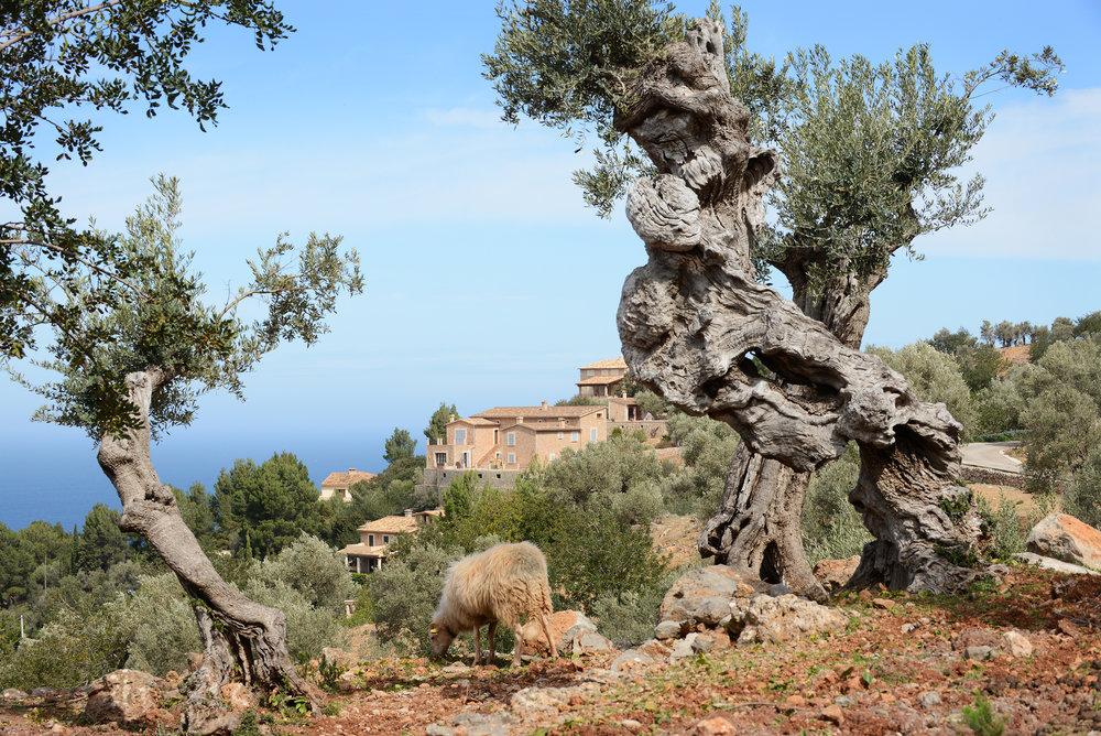 Mallorca, oliivipuu