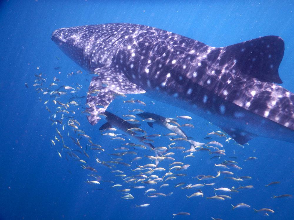 Australia, Länsi-Australia, Ningaloo Reef, valashai