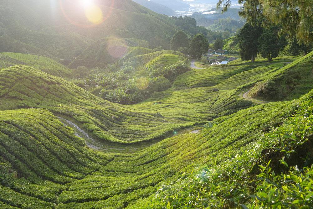 Malesia, Cameron Highlands, teeplantaasit, teeviljelmät
