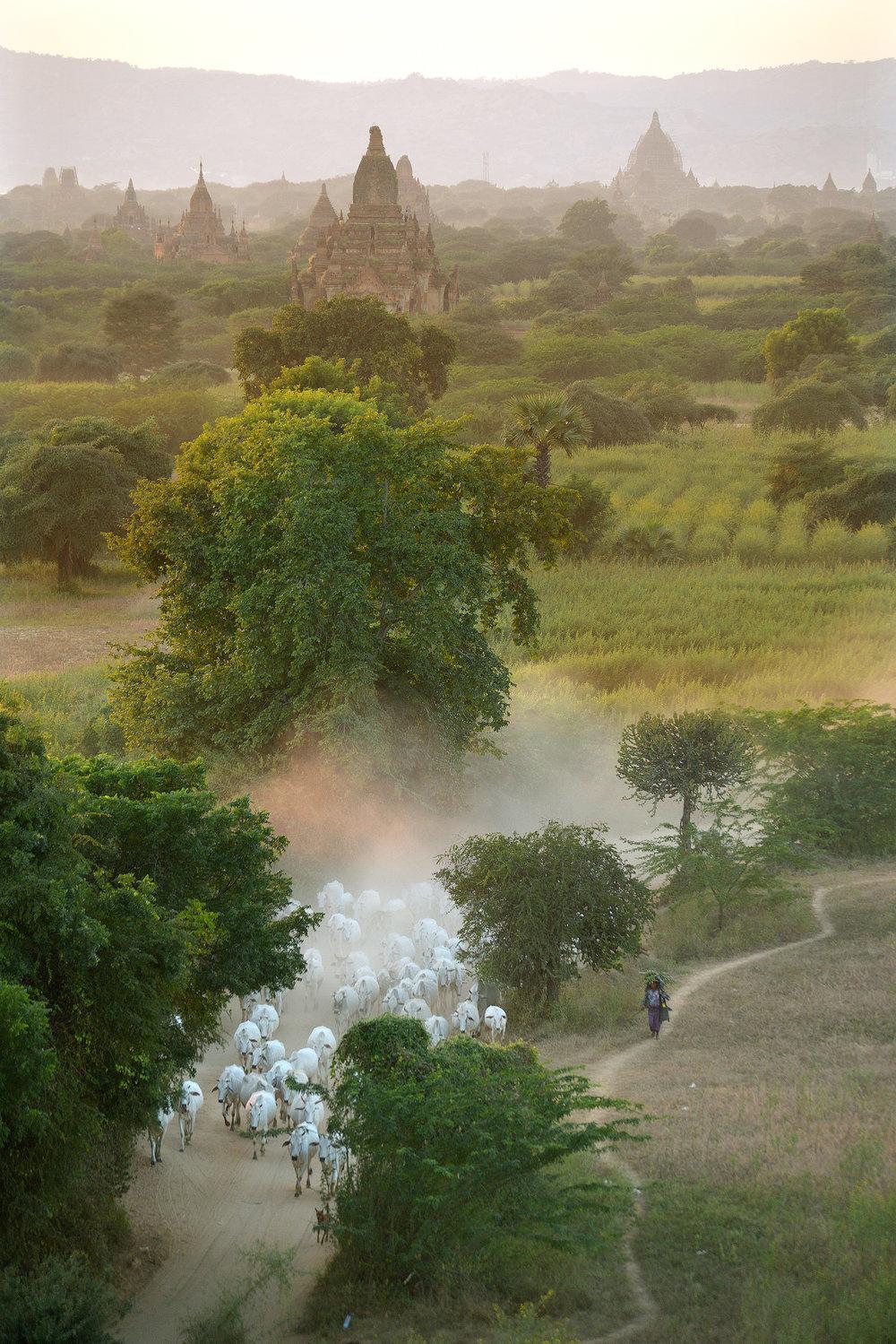 Bagan, Myanmar, lehmät