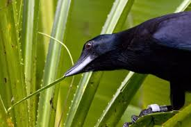 Via:http://www.delhidailynews.com/news_image/1451145534New-Caledonian-Crow.jpg