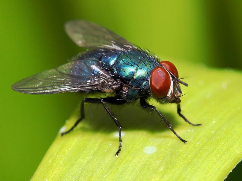 Via:http://suterra.com/wp-content/uploads/2012/07/Bluebotte-fly.jpg