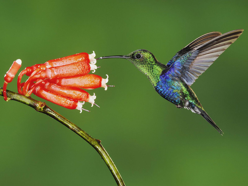 Via:https://bpsfuelforthought.files.wordpress.com/2012/03/beautiful-hummingbird-wallpaper.jpg