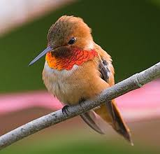 Via:https://www.allaboutbirds.org/guide/PHOTO/LARGE/rufous_hummingbird_3.jpg