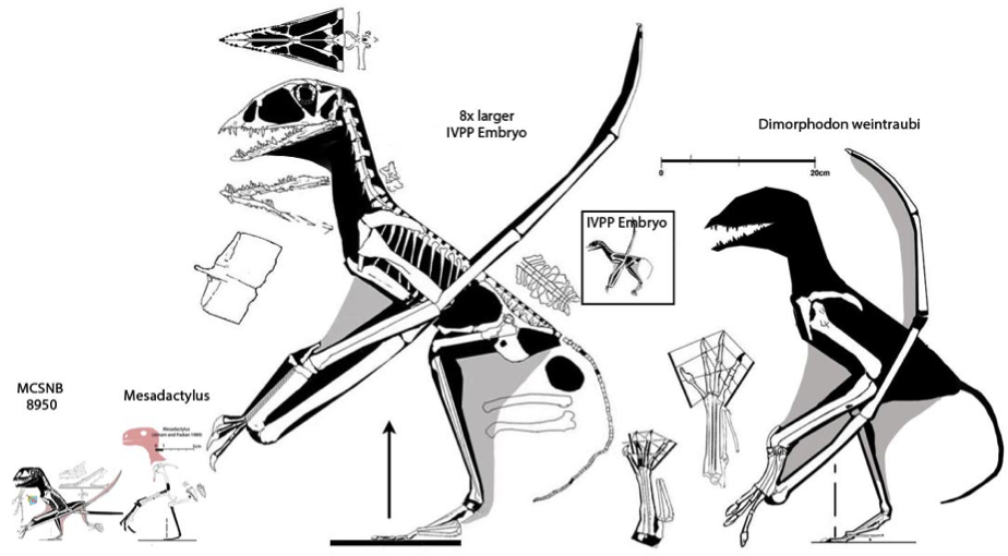 Via: https://pterosaurheresies.files.wordpress.com/2014/08/giant-anurognathids.jpg