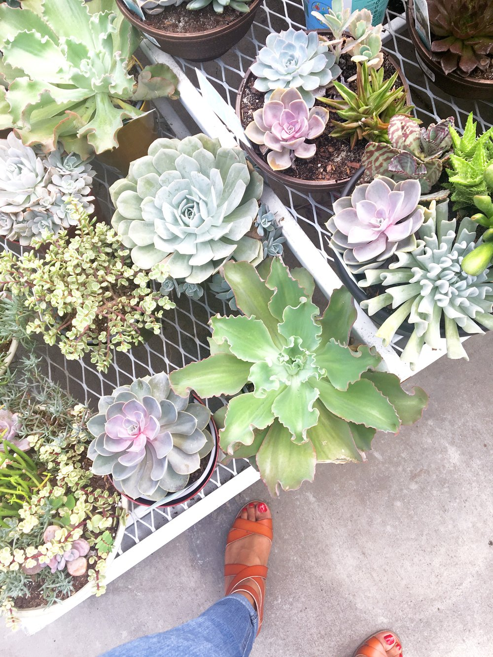 Shopping for succulents in Lowe's