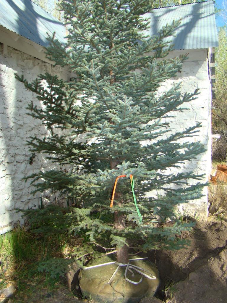 Planting Rocky Mountain Blue Spruce