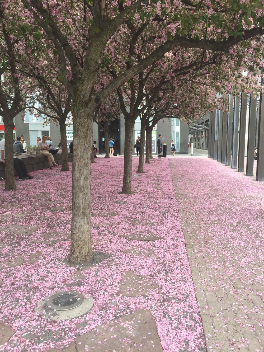 2017 Moments | Cherry Blossom in Yorkville