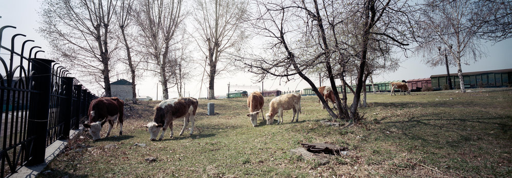 Cows at the train station, of course there are cows P614 | Super Angulon 58mm | Kodak Portra 400