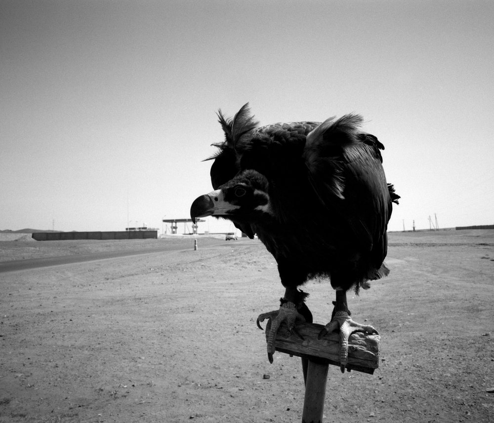 Roadside Vulture Fuji GF670w | Ilford HP5