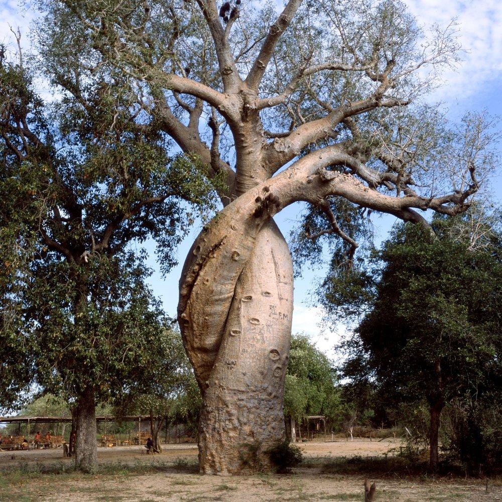 Baobab in Love Fuji GF670w | Fuji Provia 100f