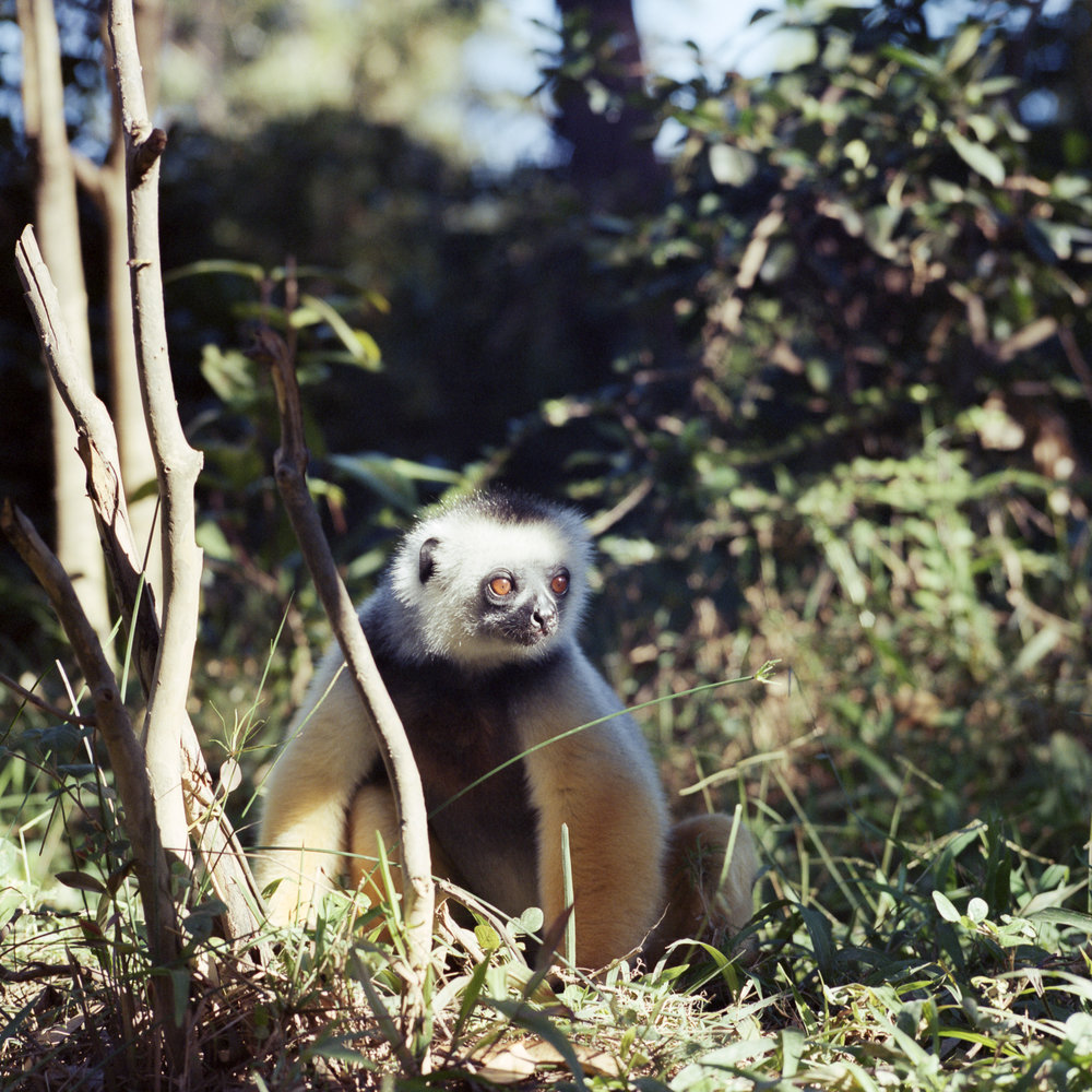 Lemur Hasselblad 501c | Kodak Portra 400