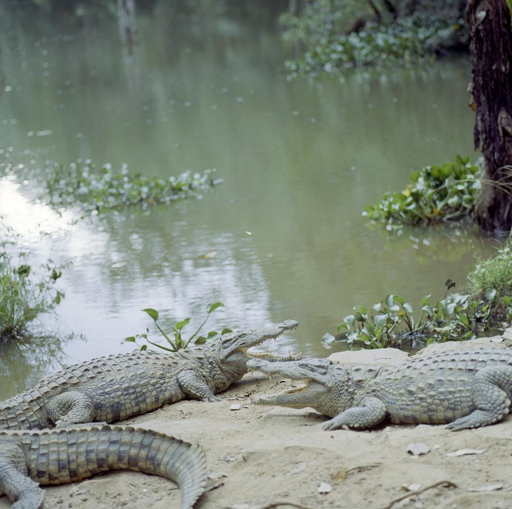 Crocodiles Hasselblad 501c | Kodak Portra 400