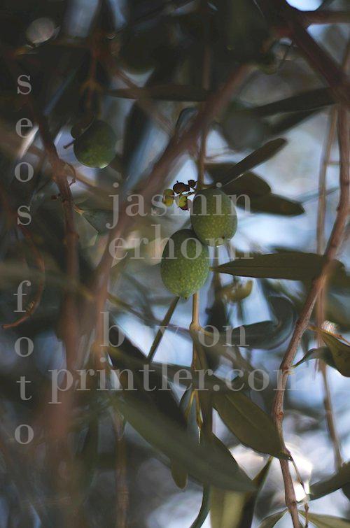 Olivträd. Italien