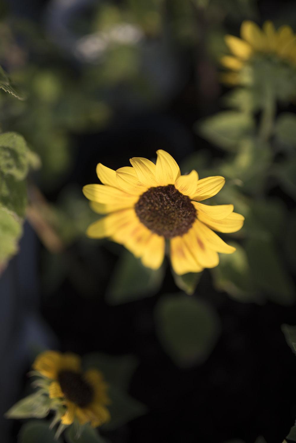 företagsfotografering-plantskola-blomster-handelsträdgård-solros-fotograf-jasmin-erhorn-seos-fotografi