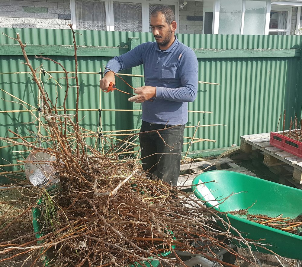 Khaled propagating berry bushes for the community.