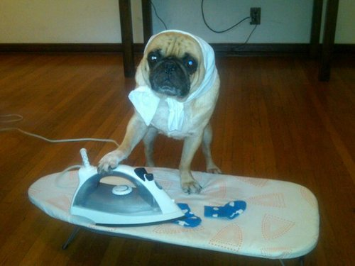 This is the most fun you can have with a standard iron. 12/10 would give a treat. (Iron isn't plugged in. Dog is safe. Don't write in.)