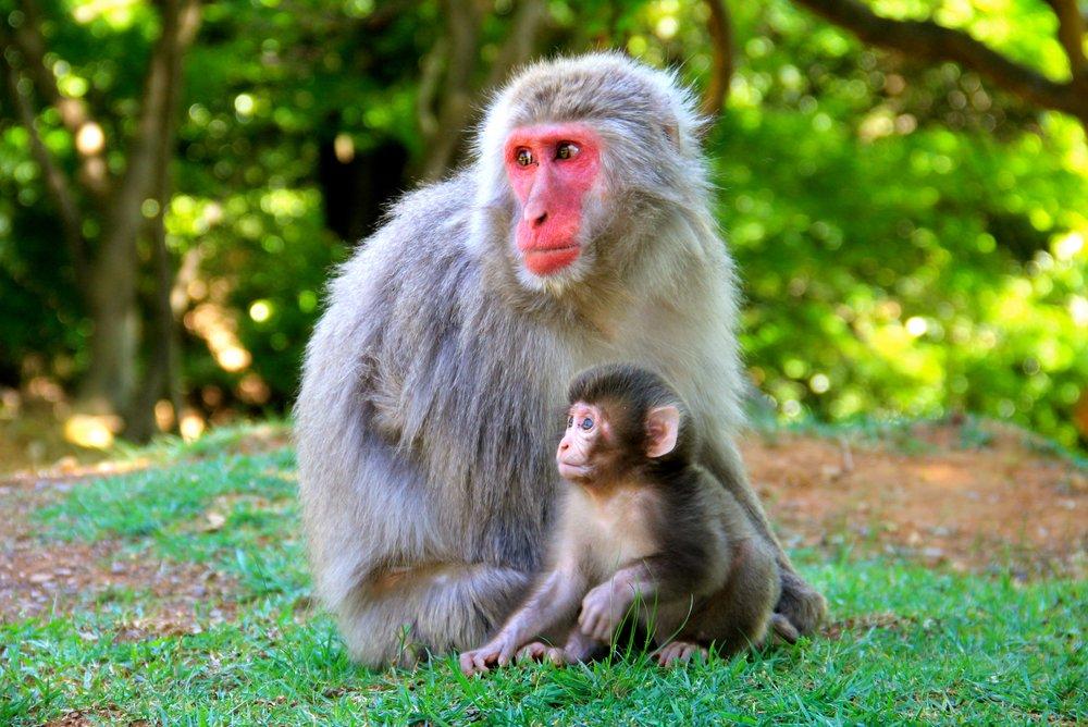 Iwatayama Monkey Park, Kyoto, Japan