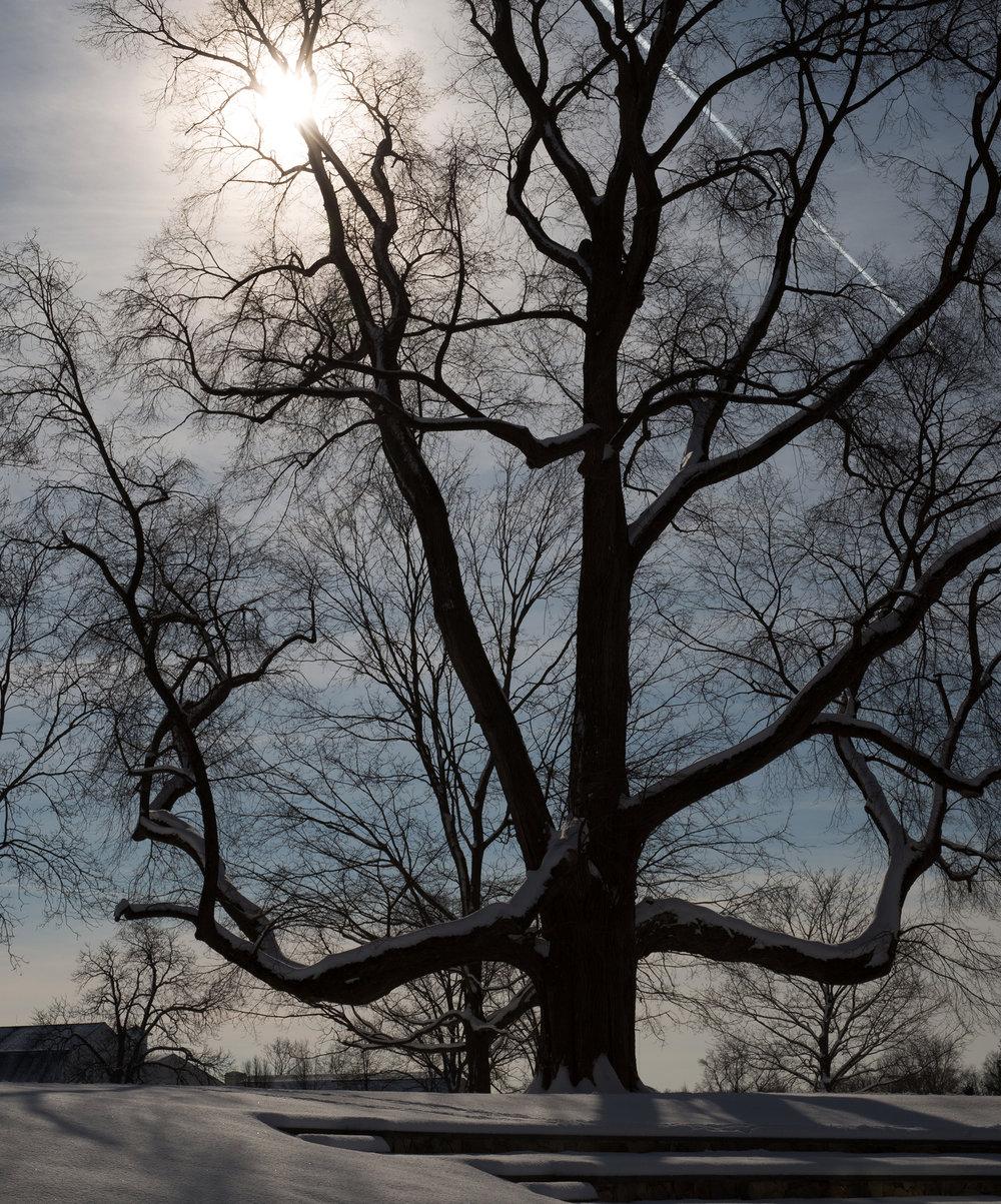 AF8A4314-giant-elm-winter.jpg