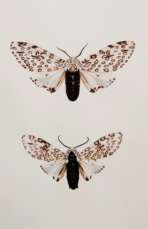 'Hypercompe scribonia, male-and-female', (2016)