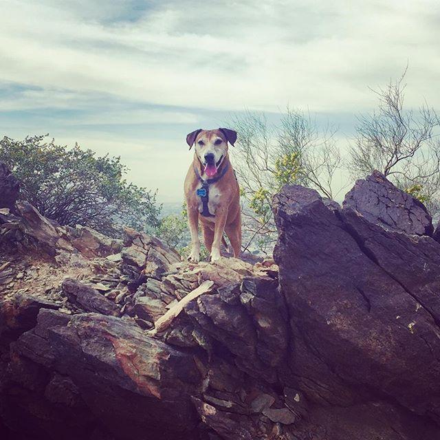 She's always happiest in the mountains. #arizona #hiking #dog #dogsofinstagram #photooftheday