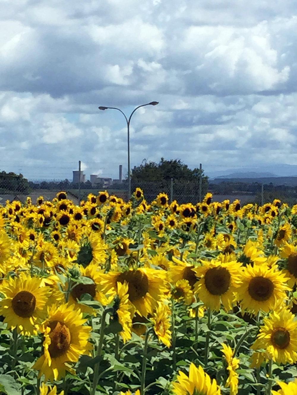 Get Sunflowered_Morwell-Church St 01.jpg
