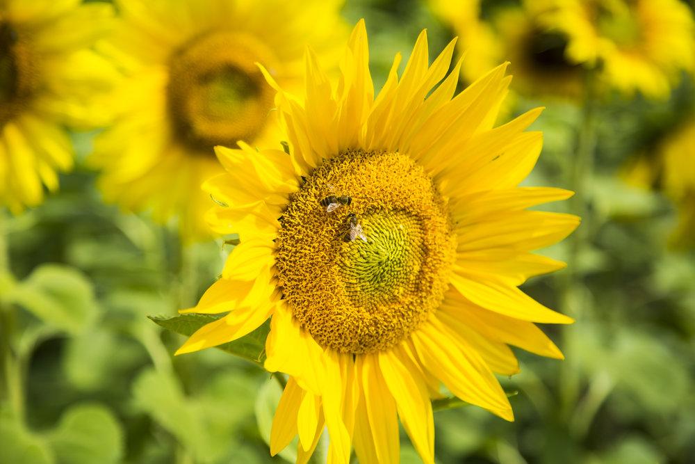 Get Sunflowered_Morwell-Church St 03.jpg