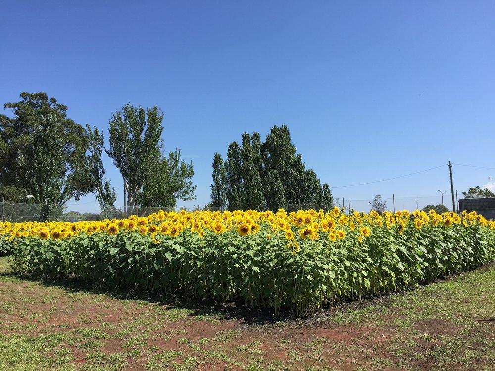 Get Sunflowered_Traralgon 02.jpg