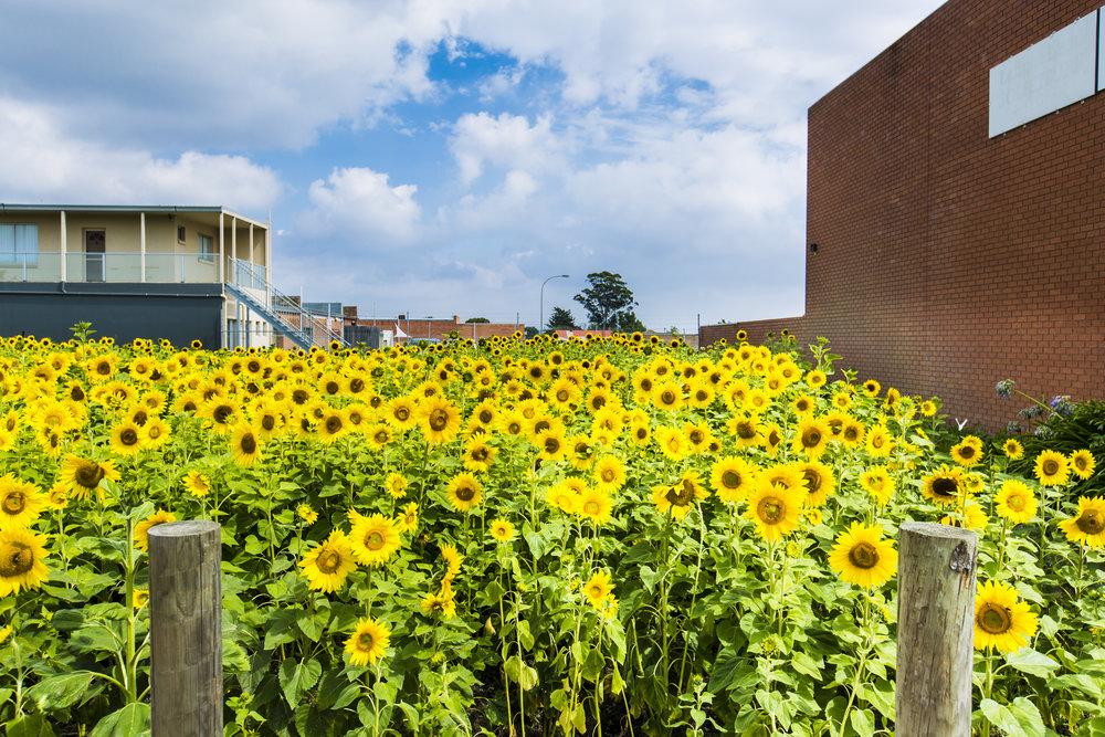 Get Sunflowered_Morwell-Church St 07.jpg