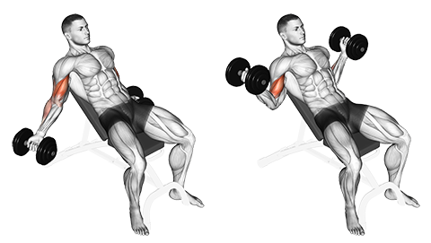 Seated Incline Dumbbell Inner Biceps Curl