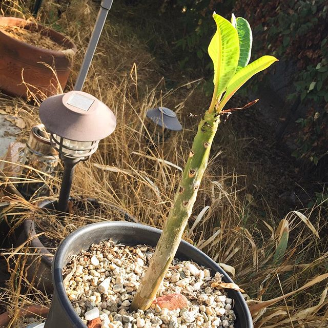 One Year Later, not only is it still with us, it finally unfurled it's first set of leaves.  It was touch and go for a while and I was sure the 105 degree weather would have done it in, to my surprise she is still here, I think it is time to upgrade her from the pot. #plumeria #leah #moodygram #backyardgarden #keepingherspiritalive #learningtogarden #tropicalplantsofinstagram