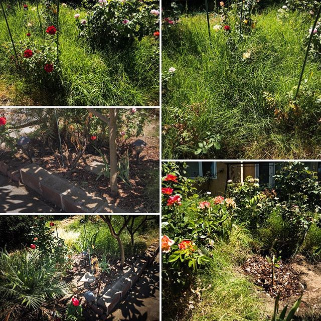 Starting to reclaim the garden back from the grass... it grew in in just a couple weeks! #gardening #fightingthejungle #weeds