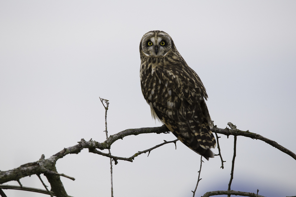 Short Eared Owl Light Web.jpg