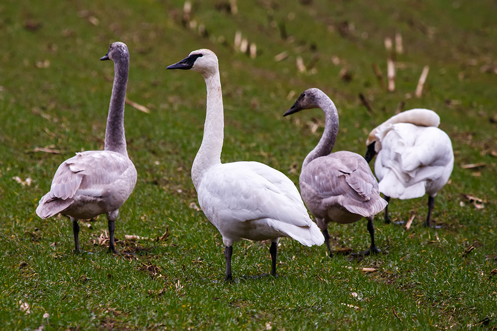 Snow Goose Web.jpg