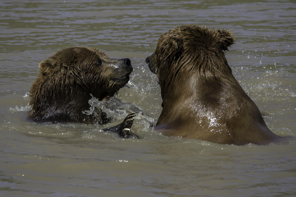 Brown Bears 2 Web.jpg
