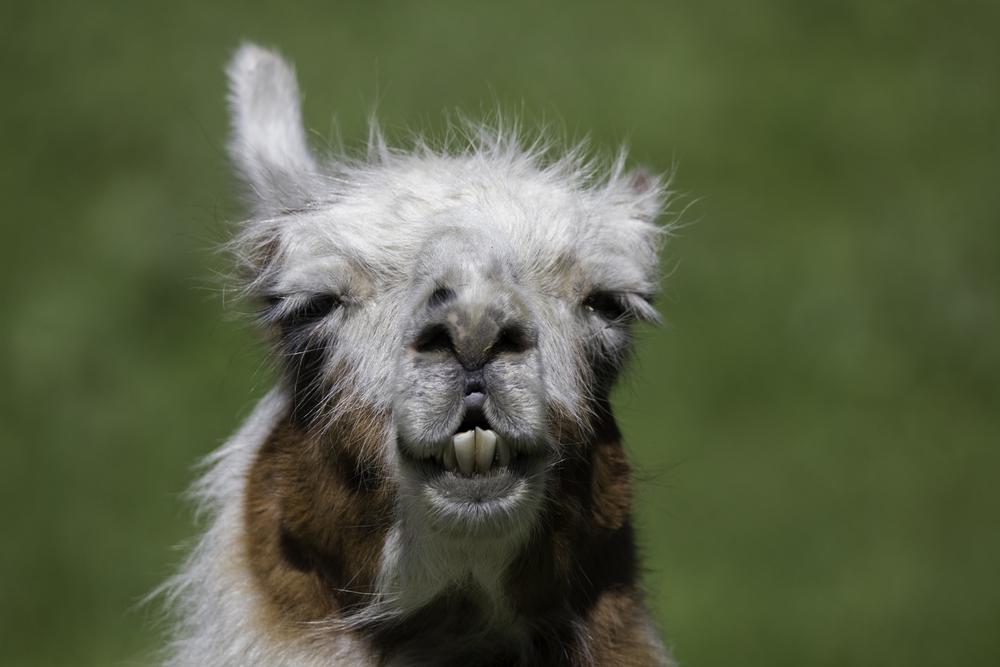 Llama Web.jpg