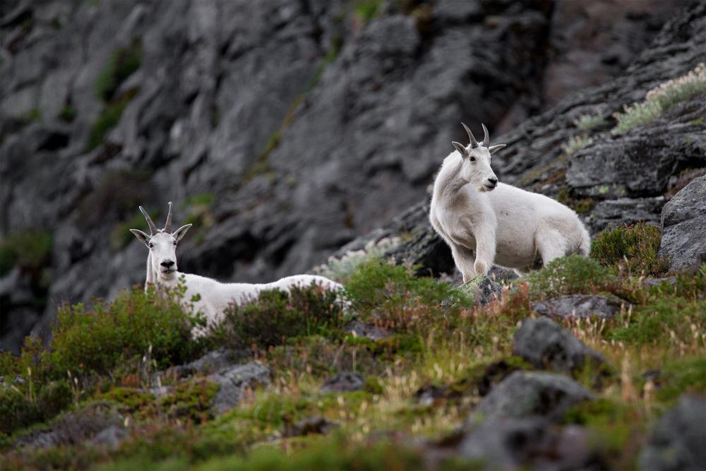 Goats Web.jpg