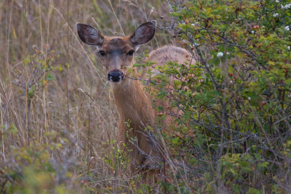 Deer 2 Web.jpg