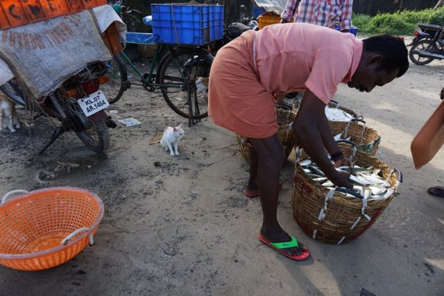 watching & preparing the morning's catch, fisherman & cats near kochin
