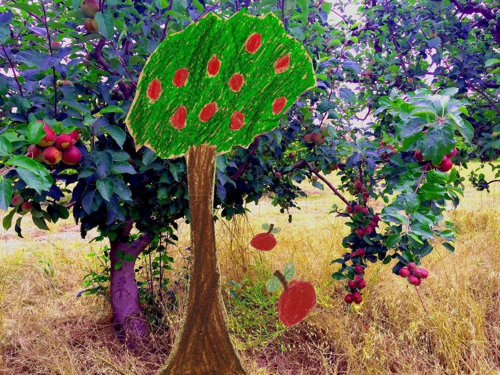 Sebastopol Apple Tree