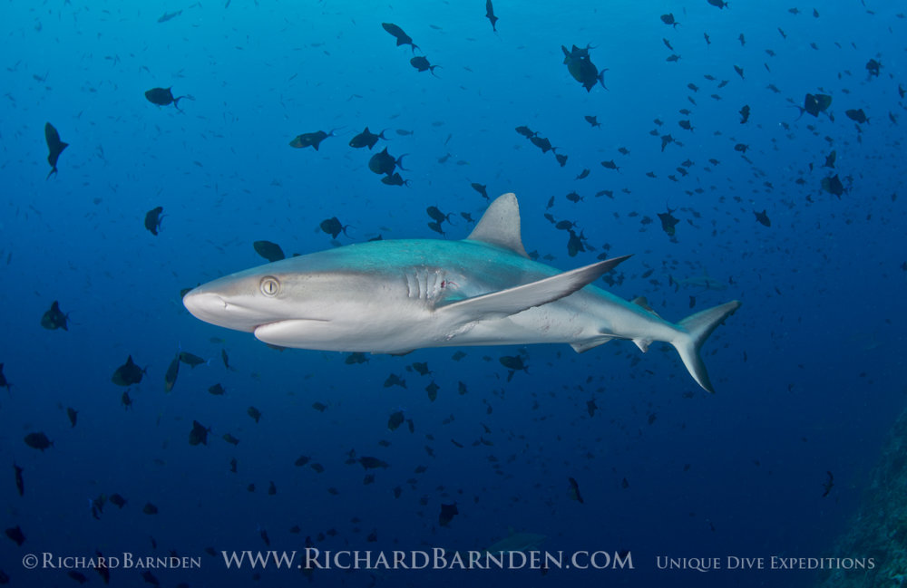 Grey Reef Shark Mating Scar - Palau.jpg