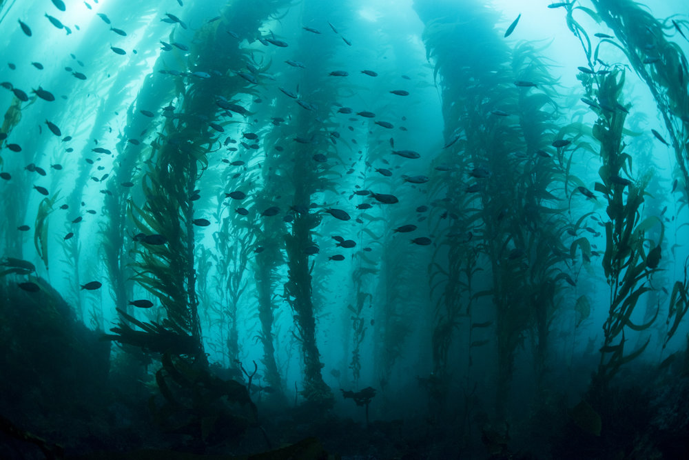 California Kelp Siloutte Far.jpg