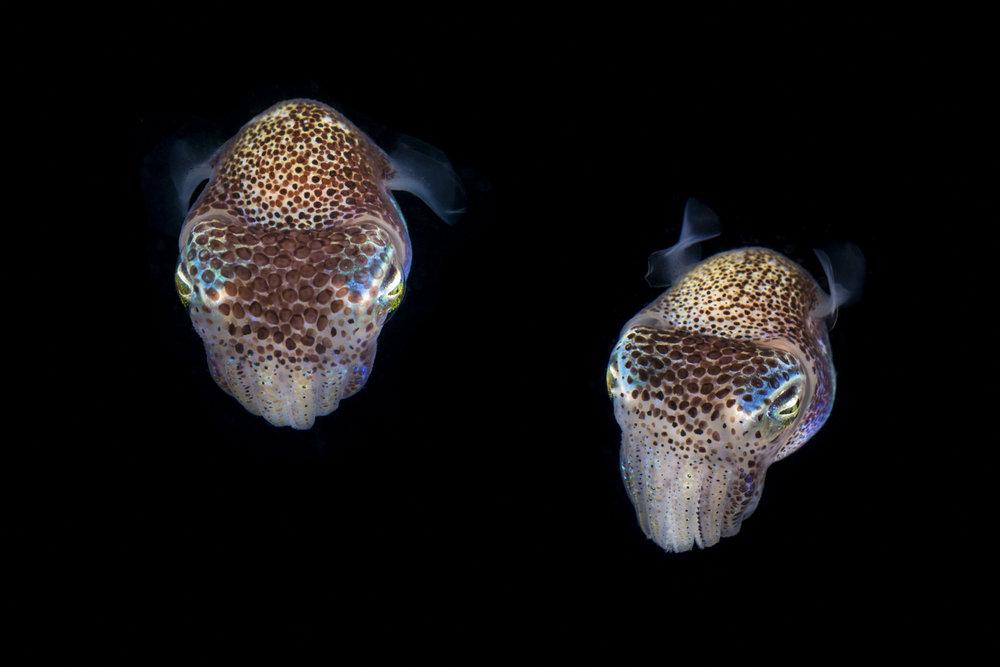Bobtail Squids.jpg