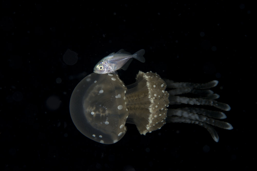 Juvenile Fish Ridding A Jellyfish.jpg