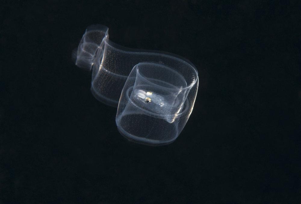Pelagic Eel.jpg