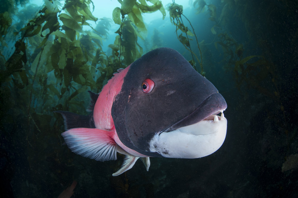 California sheephead Wrasse Profile Picture(Semicossyphus pulcher).jpg