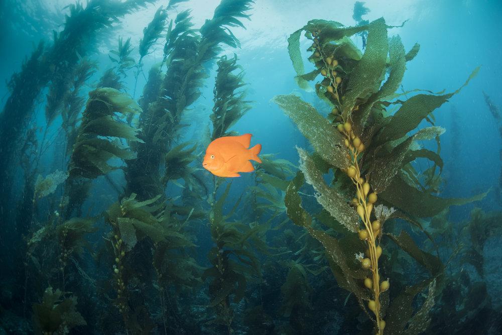 Garibaldi damselfish Kelp Far Shot (Hypsypops rubicundus).jpg