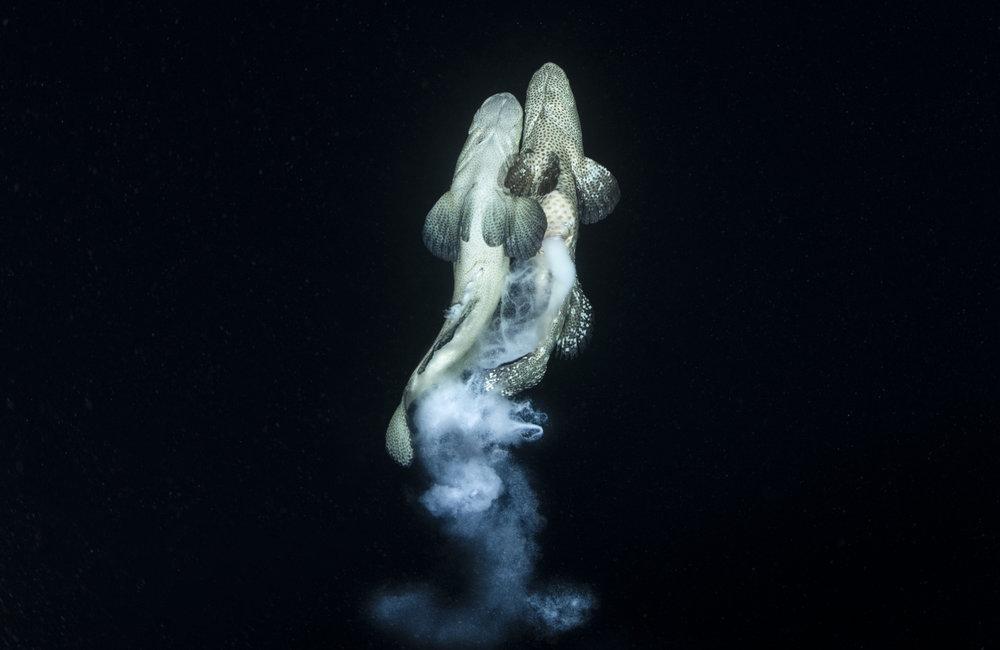 Grouperspawning.jpg