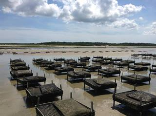 EAST DENNIS OYSTER FARM - C.C. - MASSACHUSETTS