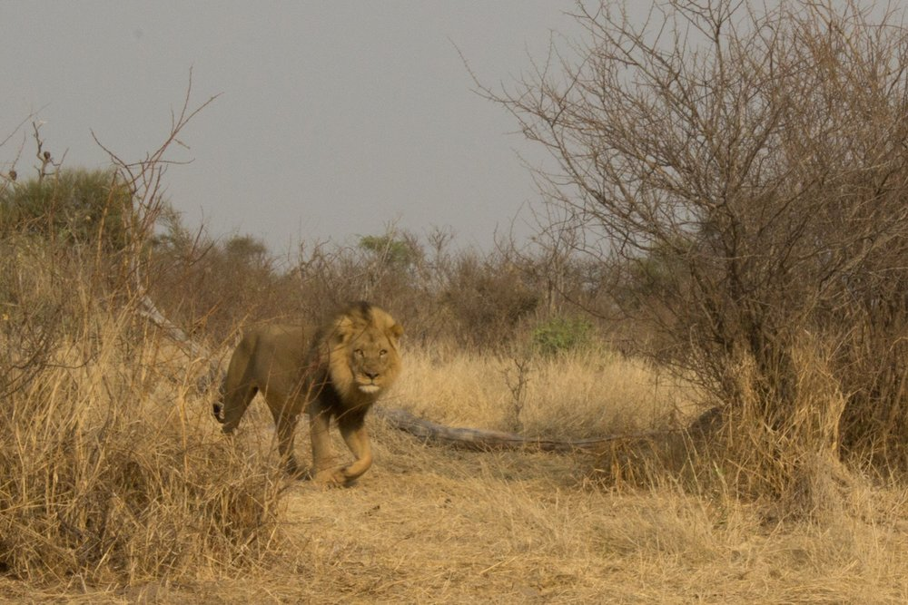 Lion at a kill at Khumaga